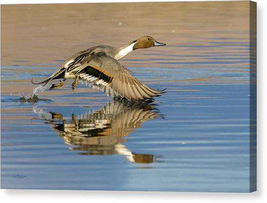 Northern Pintail With Reflection Canvas Print