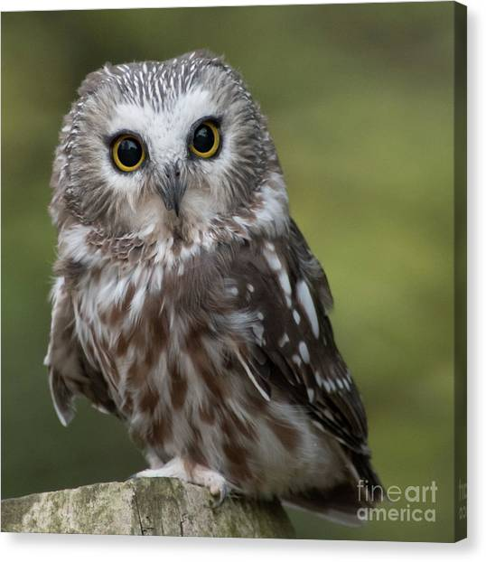 Northern Saw-whet Owl Canvas Print by Rebecca Miller
