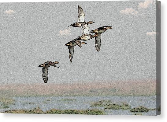 Northern Shoveler Canvas Print