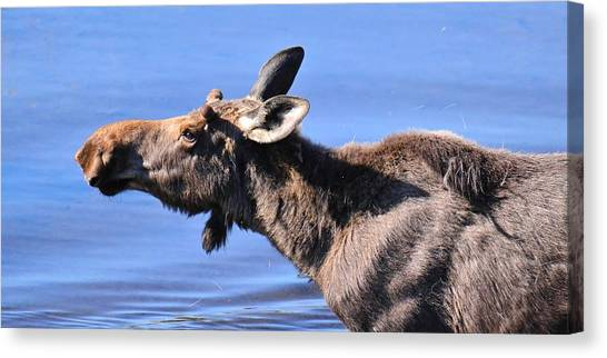 Nose First - Moose Canvas Print