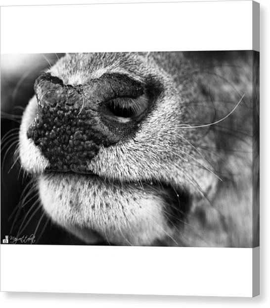 Head Canvas Print - Nosy Nose  #monochrome #canon by Mandy Tabatt