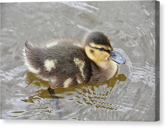 Not So Ugly Duckling Canvas Print