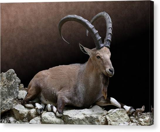 Nubian Ibex Portrait Canvas Print