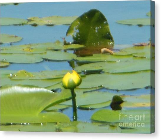 Nuphar Lutea Yellow Pond Canvas Print