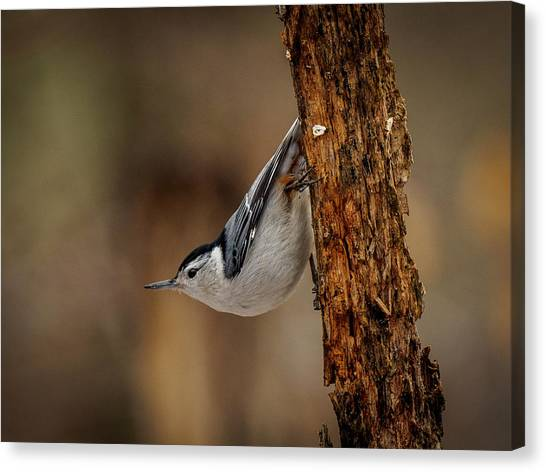 Nuthatch 1 Canvas Print