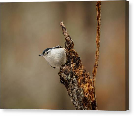 Nuthatch 2 Canvas Print