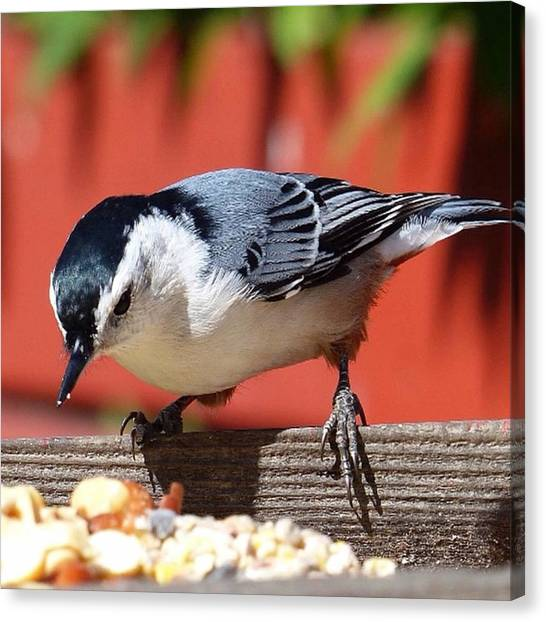 Songbirds Canvas Print - Nuthatch by Laurie Gresch