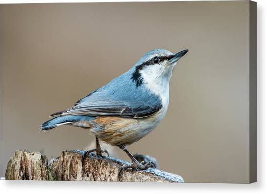 Nuthatch's Pose Canvas Print