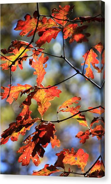 Oak Leaf Cluster Canvas Print