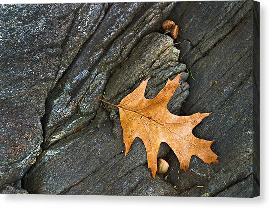 Oak Leaf On The Rocks Photo Canvas Print by Peter J Sucy