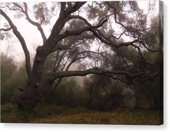 Oak Sentinel With Coastal Fog Canvas Print by Robin Street-Morris