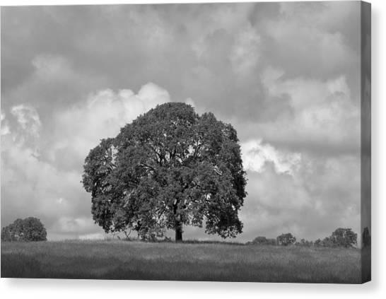 Oak Tree On Hill Canvas Print