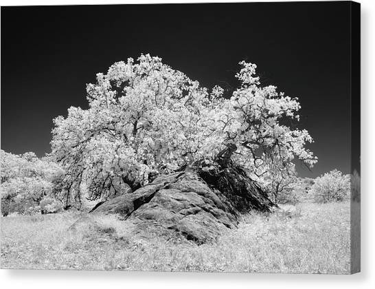 Oak With Boulder I Canvas Print by Joseph Smith