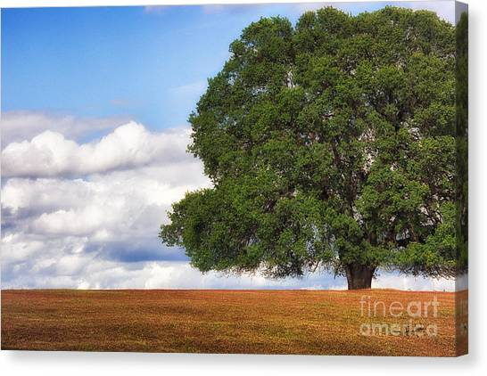 Oaktree Canvas Print