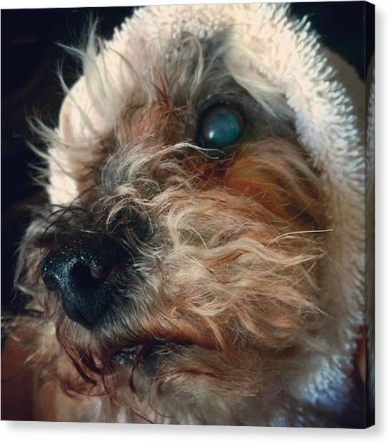 Poodles Canvas Print - Obi Wan Minobi #minivision #dogs by Matthew Rappaport