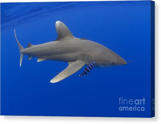 White Tip Sharks Canvas Print - Oceanic Whitetip Shark by Dave Fleetham - Printscapes