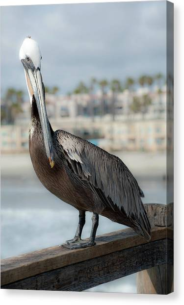 Oceanside Pelican Canvas Print