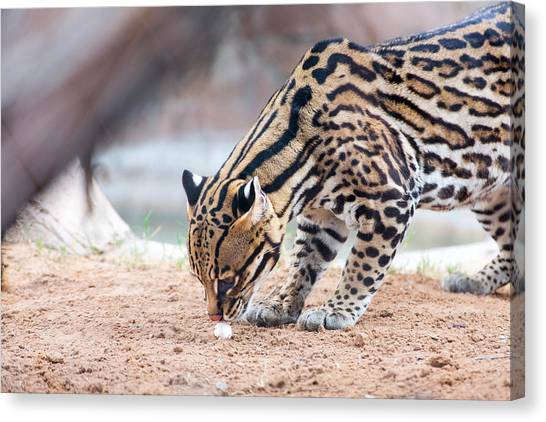 Ocelot And Egg Canvas Print