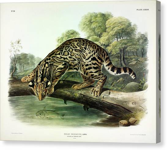 Florida Panthers Canvas Print - Ocelot, Or Leopard Cat by John James Audubon
