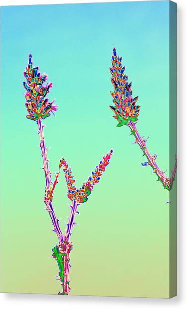 Ocotillo Blossums After Too Much Tequila Canvas Print by Richard Henne