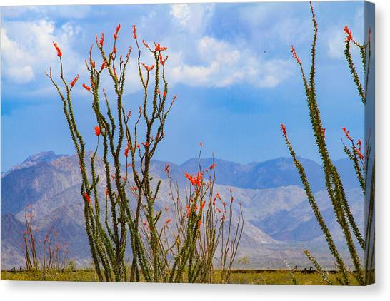 Ocotillo Cactus With Mountains And Sky Canvas Print