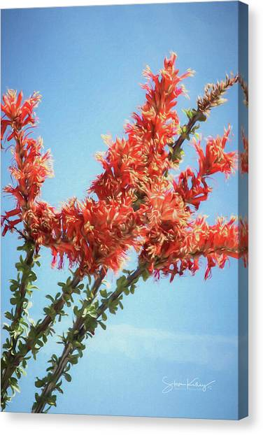 Ocotillo In Bloom Canvas Print