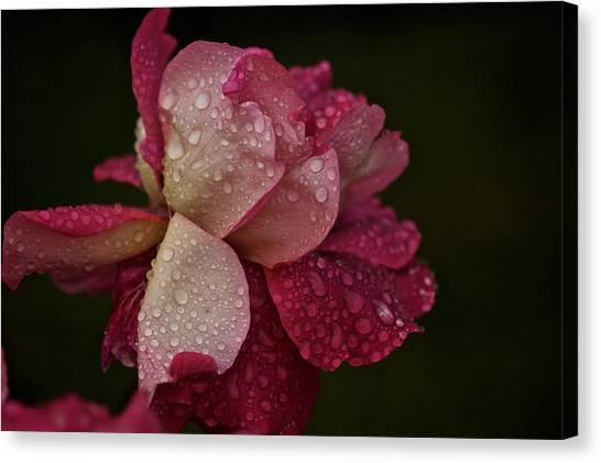 October Rose In The Rain Canvas Print