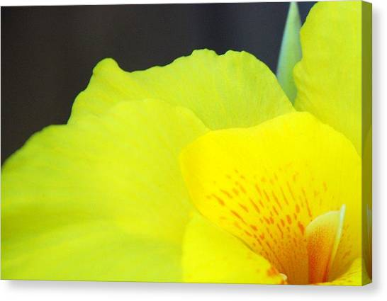 Oh Canna You See Canvas Print by Diane Fiore