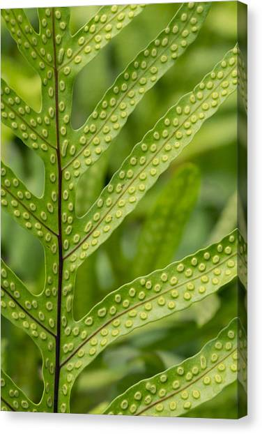 Oh Fern Canvas Print
