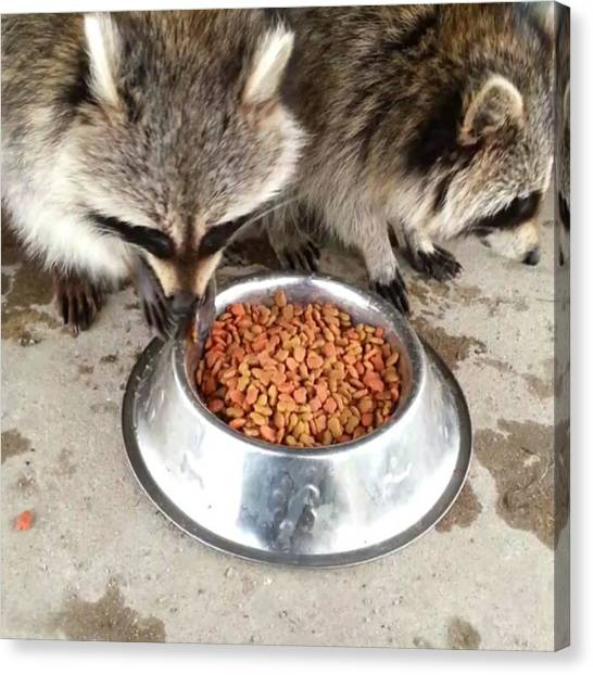 Raccoons Canvas Print - Oh Just Having Some Breakfast, Why? by Deni Mcguire
