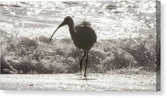 Ibis Canvas Print - Oh Splash Me Cortez Beach by Betsy Knapp