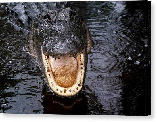 Okefenokee Alligator 1 Canvas Print