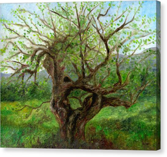 Old Apple Tree Canvas Print