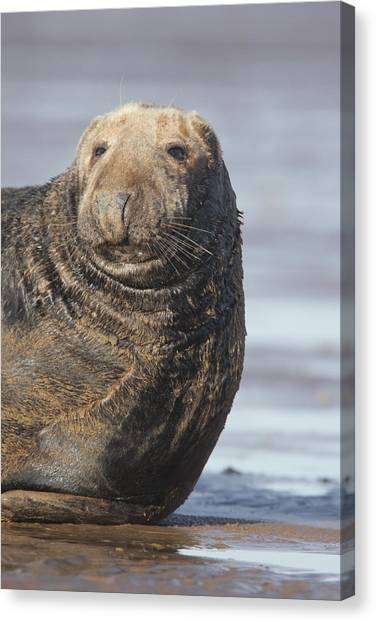 Old Atlantic Grey Seal On The Beach Canvas Print