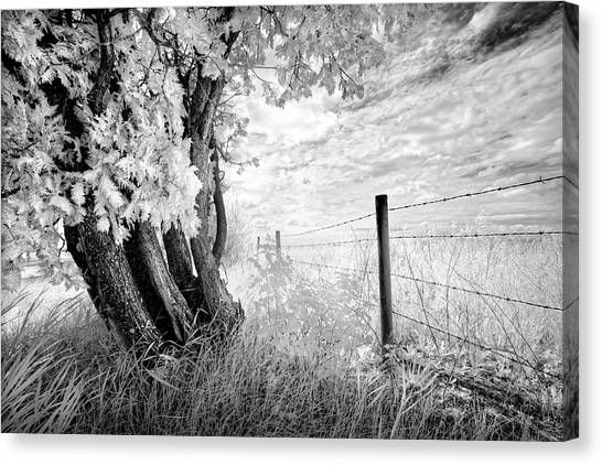 Old Cedar And Barbed Wire Canvas Print