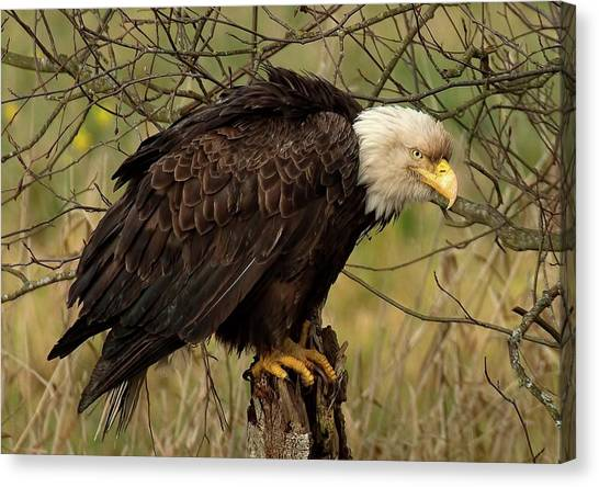 Old Eagle Canvas Print