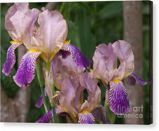 Old-fashioned Iris Canvas Print