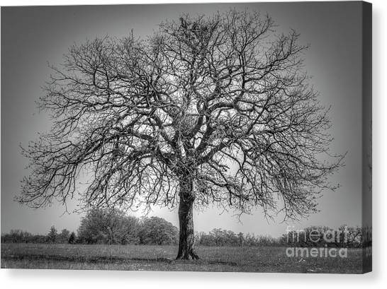 Old Oak Canvas Print