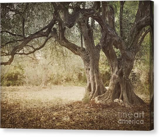 Mythja Canvas Print - Old Olive Tree by Mythja  Photography