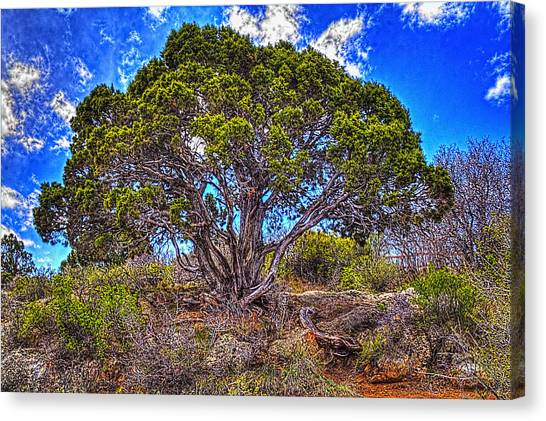 Old Utah Juniper Canvas Print