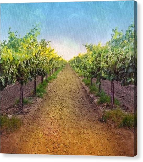 Vineyard Canvas Print - Old #vineyard Photo I Rescued From My by Shari Warren