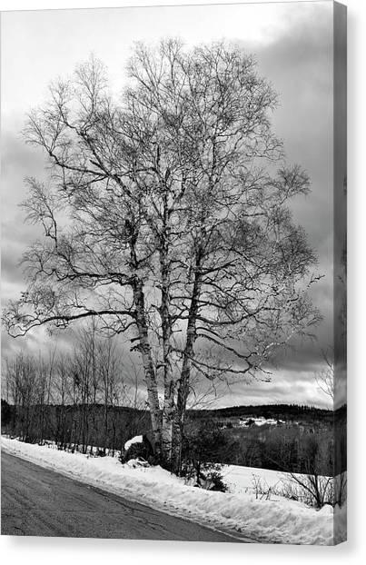 Old White Birch Canvas Print