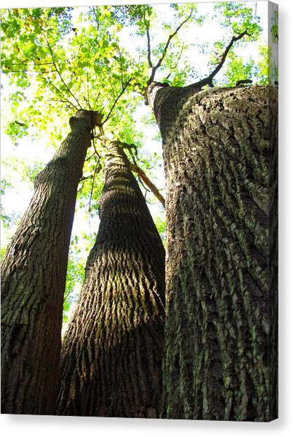 Oldgrowth Tulip Tree Canvas Print