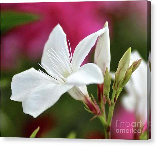 Oleander Casablanca 2 Canvas Print