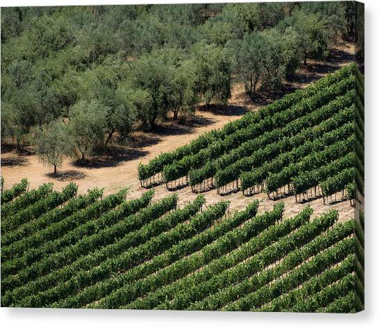 Olive Grove Meets Vineyard Canvas Print