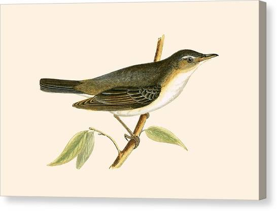 Warblers Canvas Print - Olive Tree Warbler by English School