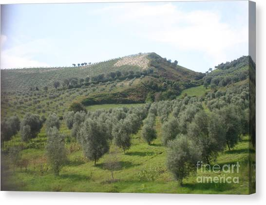 Olive Trees Canvas Print by Dennis Curry