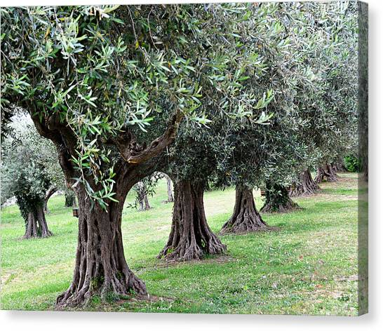 Olive Trees In Umbria Canvas Print by Marion McCristall