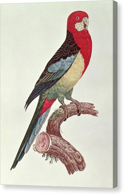 Parakeet Canvas Print - Omnicolored Parakeet by Jacques Barraband