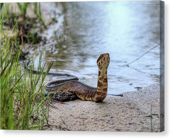 Cottonmouths Canvas Print - On The Lookout by JC Findley